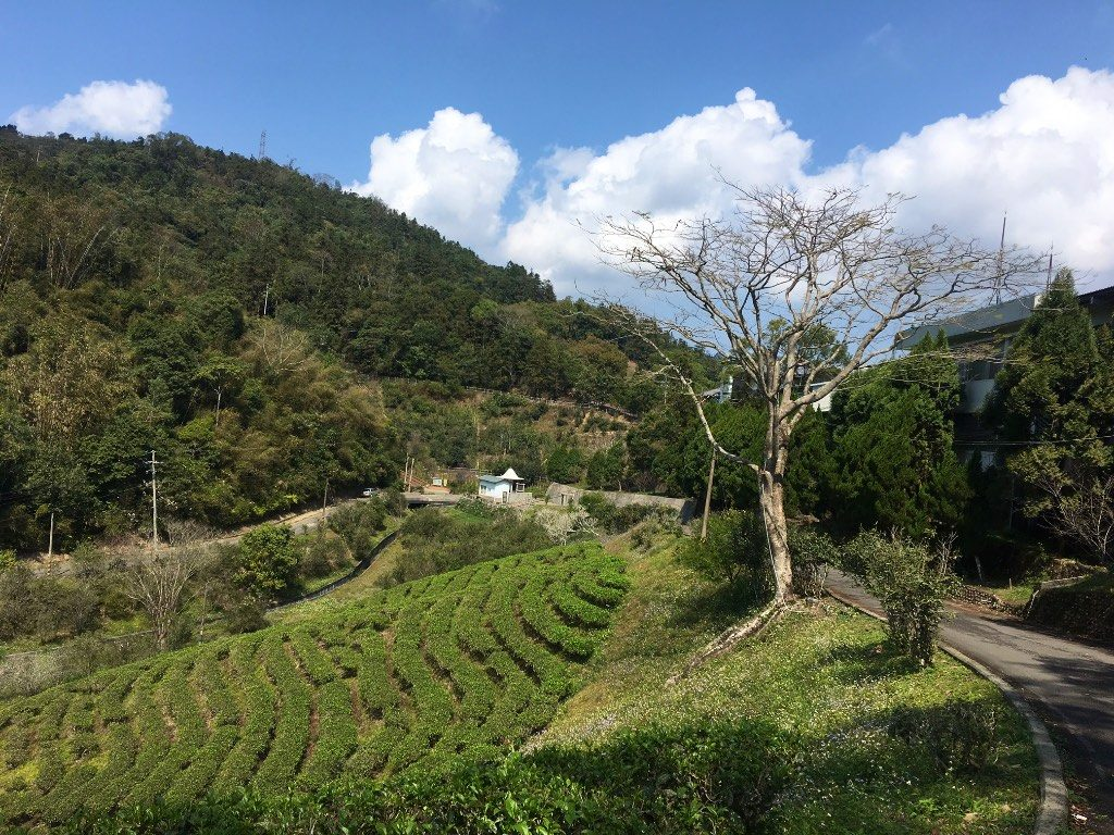 Tea plantation in the Mt. Maolan area at Sun Moon Lake in Nantou County, Taiwan