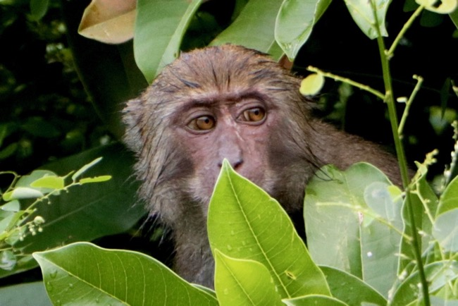 taiwanese monkey macaque